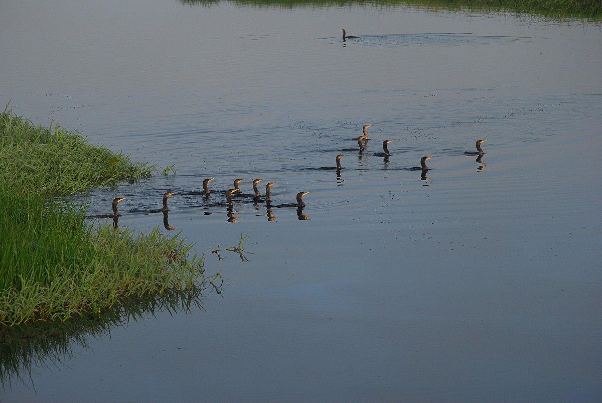 Cormorans olivatres - Photo Thomas DEVAUX